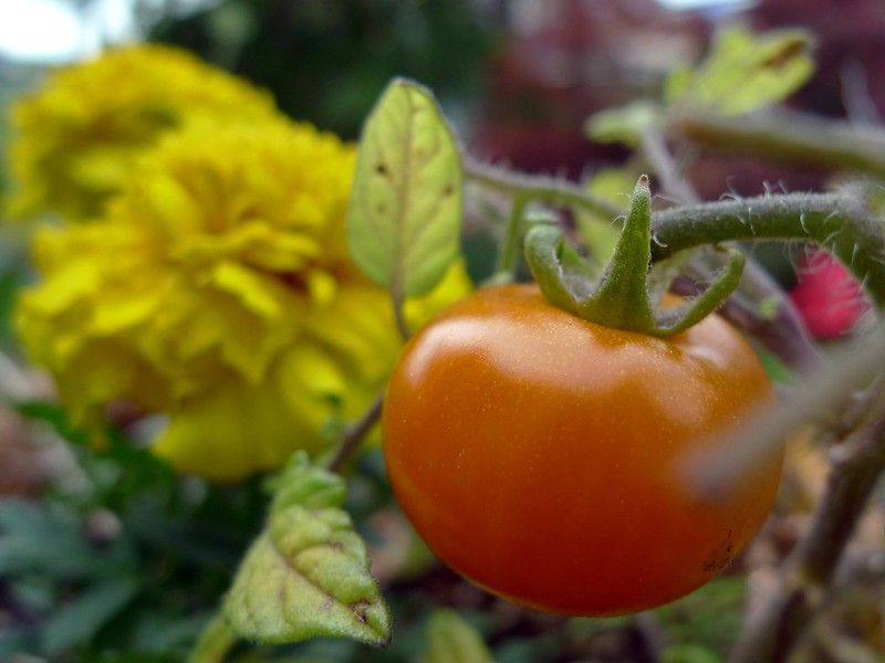 Companion Planting: Benefits of growing flowers in between of the vegetables