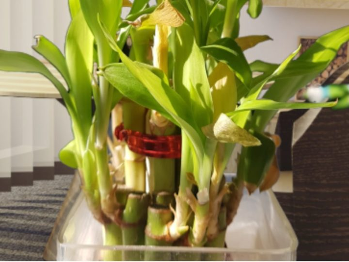 Lucky Bamboo Care Tips