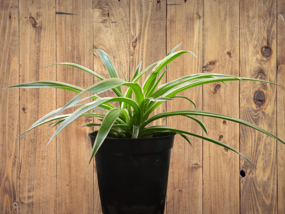 Spider-Plant-Easy-to-grow-and-air-purifying-plant