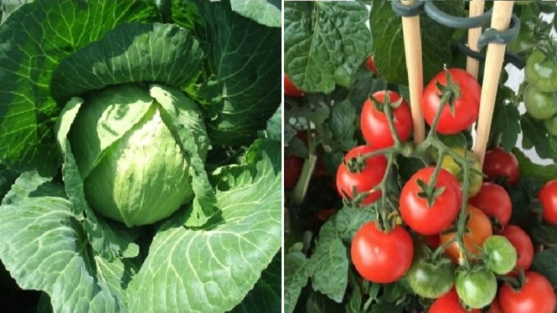 Companion Gardening- Tomatoes and Cabbage