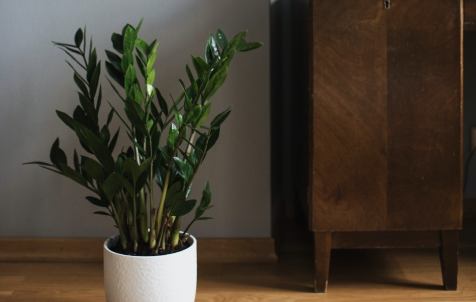ZZ Plant: Indoor Foliage Air Purifying Plant: Details and Care Tips