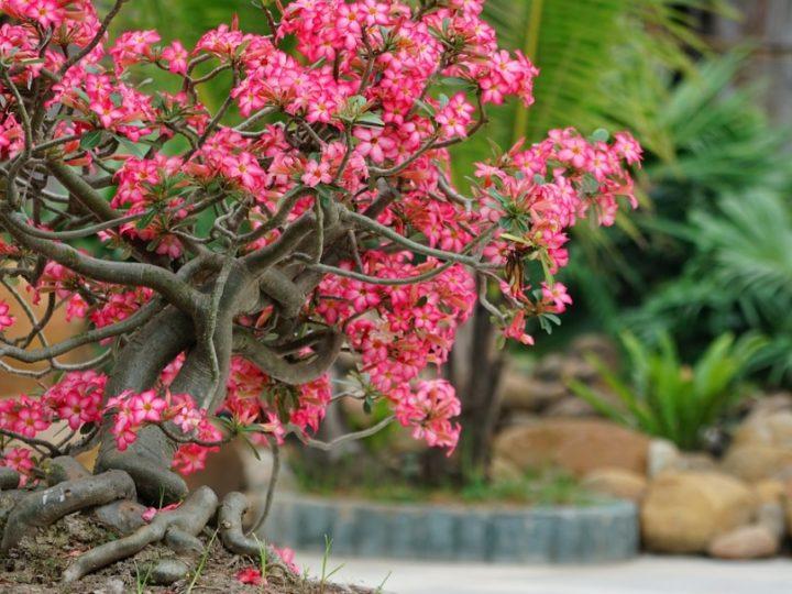 Adenium/Desert Rose: Low Care best Succulent Bonsai Plant for Beginners