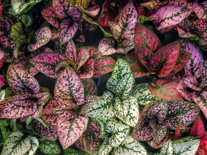 Aglaonema: Indoor/outdoor low care good luck air purifying foliage plant