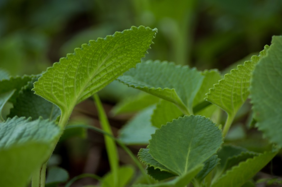Ajwain: Easy to care Indian herb grown for culinary and medicinal purposes
