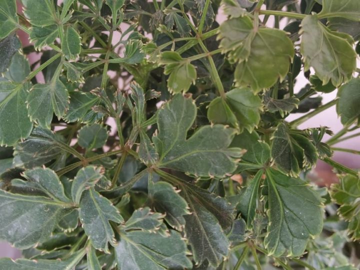 Aralia: Tough evergreen indoor/outdoor foliage plant – How to care and details