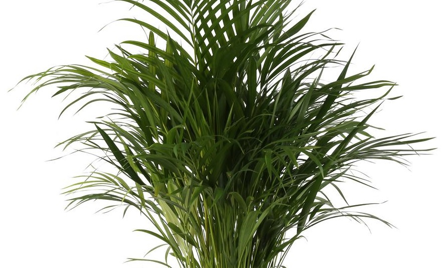 Areca Palm: Air Purifying and Easy to Care Plant – Details and Care Tips