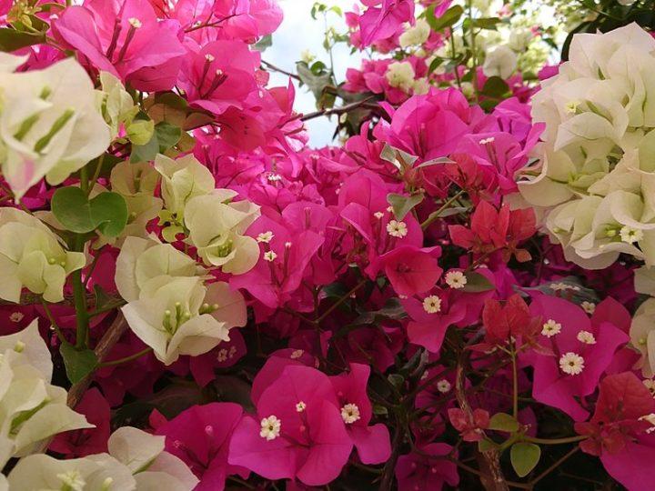 Bougainvillea: Perfect low care outdoor ornamental plant