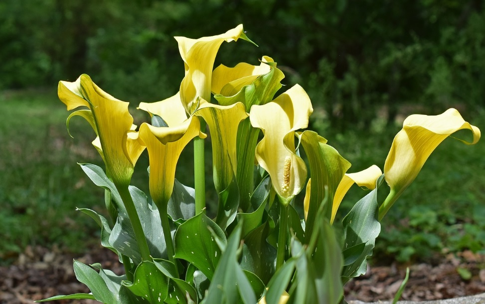 Calla Lily: Beautiful flowering plant comes in multiple varieties based on flower colors