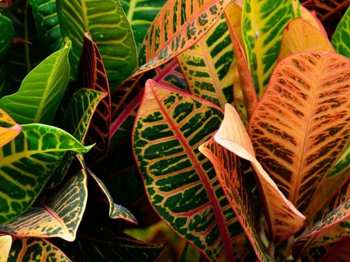 Croton: How to care and details – Beautiful foliage with colorful and leathery leaves