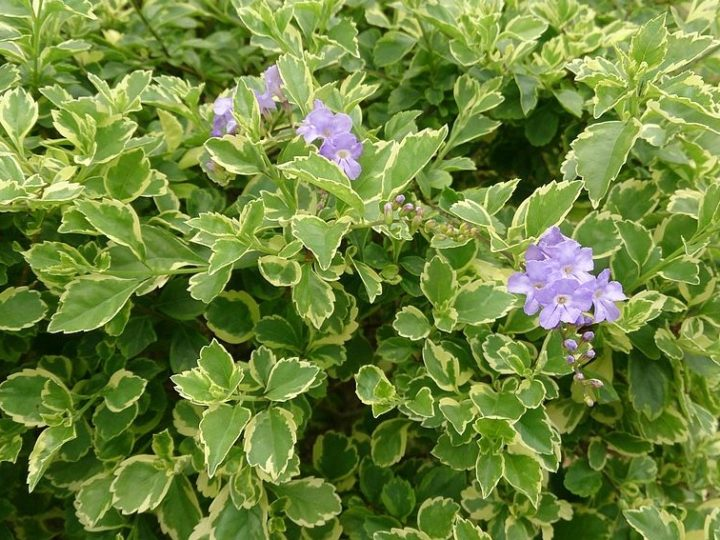Duranta: Low care outdoor plants suitable for terrace garden and making hedges