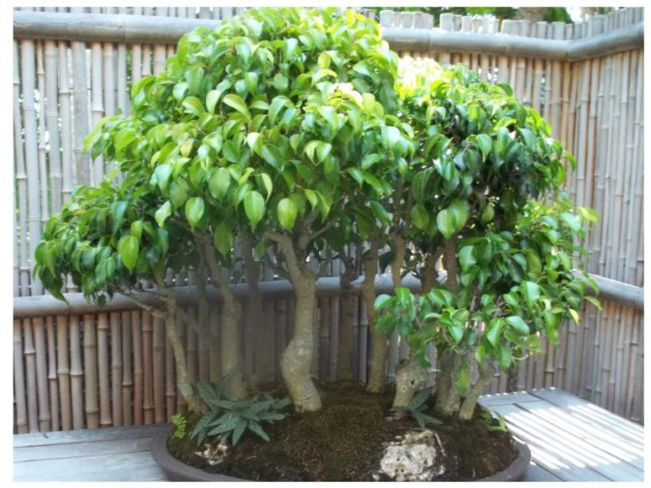 Ficus Benjamina: One of the most popular plant for making bonsai