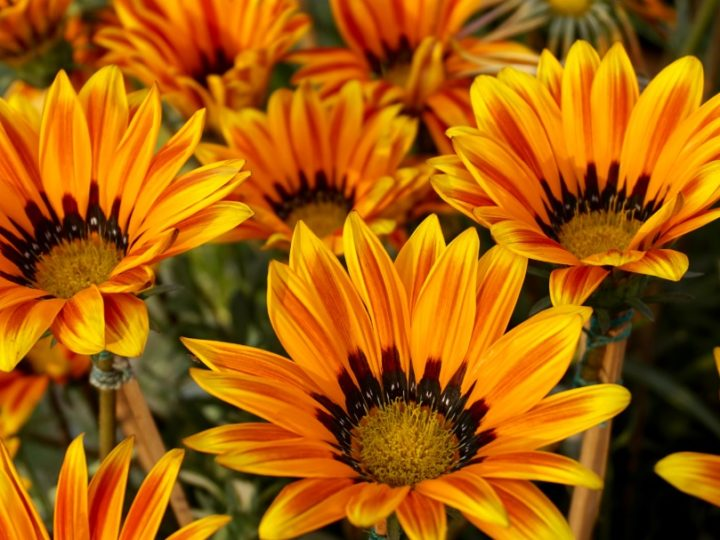 Gazania: Beautiful and hard to kill ornamental flowering plant – Details and care tips