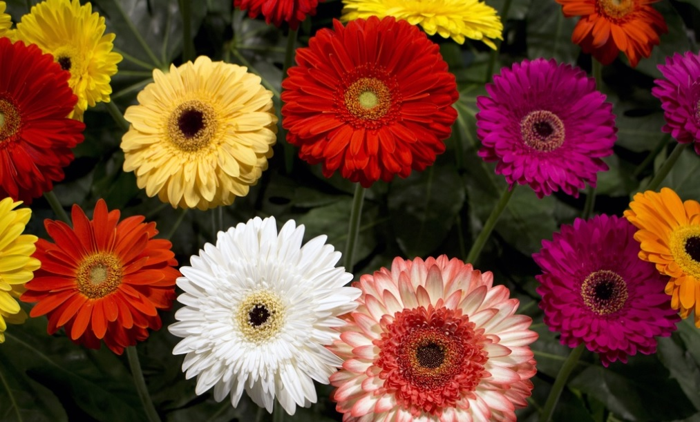 Gerbera: Bright and cheerful flower used in bouquet – Details and care tips