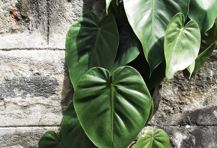Heartleaf philodendron: Perfect climber with attractive heart shaped leaves