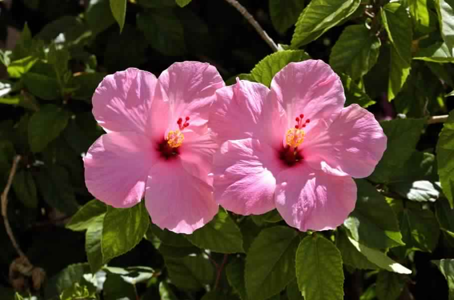 Hibiscus: Medicinal Flowering Plant – Details and Care Tips