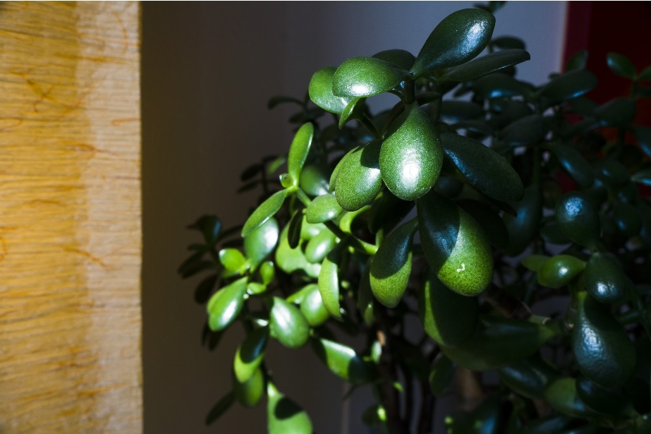 Jade Plant: Good Luck Air Purifying Plant – Details and Care Tips