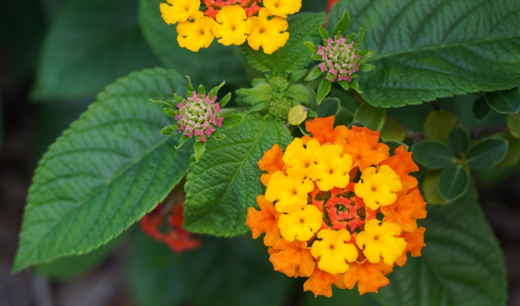 Lantana Plant Care and Details: Plants with Attractive Bright Flowers