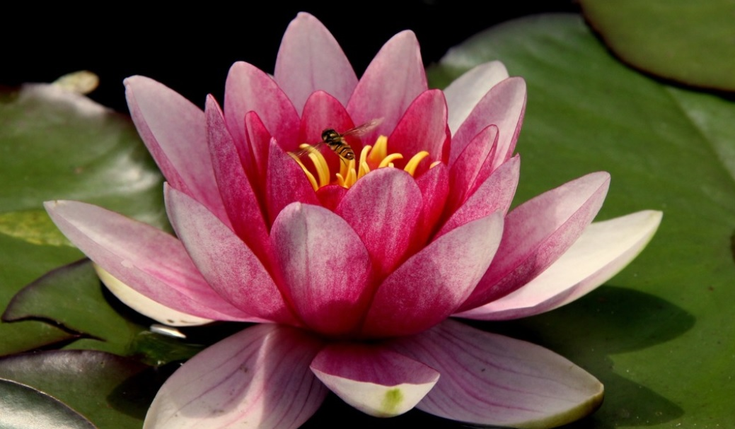 Lotus: National flower of India – Beautiful and perfect aquatic plant