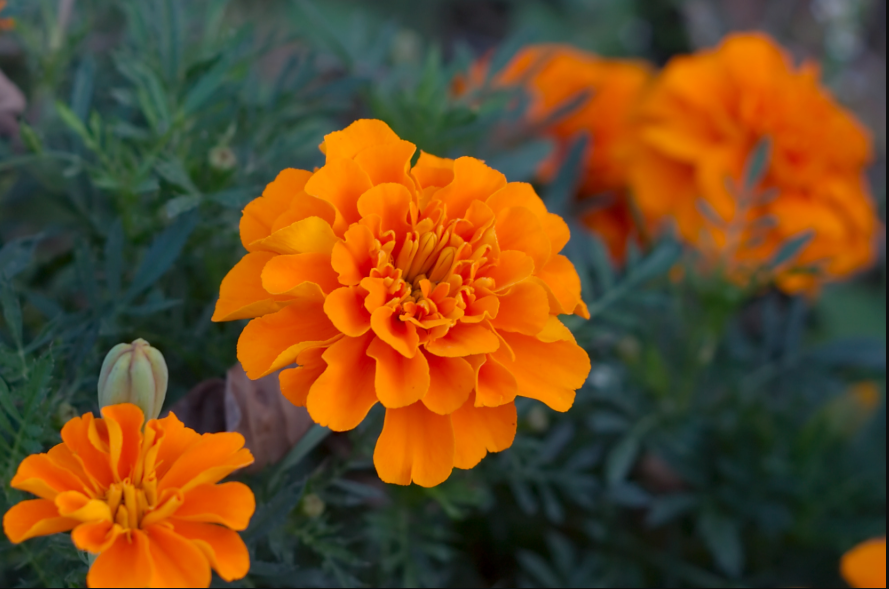 Marigold – Most Common and Easy to Grow Flowering Plant