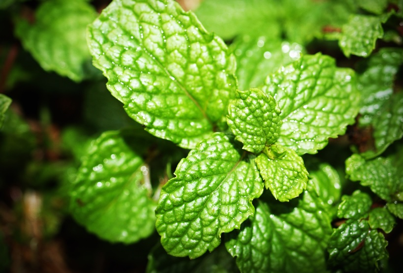 Pudina/Mint: Easy to grow and adds flavor to you food: Details and Care Tips
