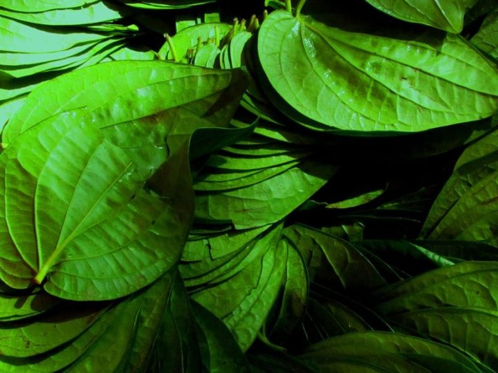 Piper betel (maghai paan): Multi utility herb loved in India as a mouth freshener
