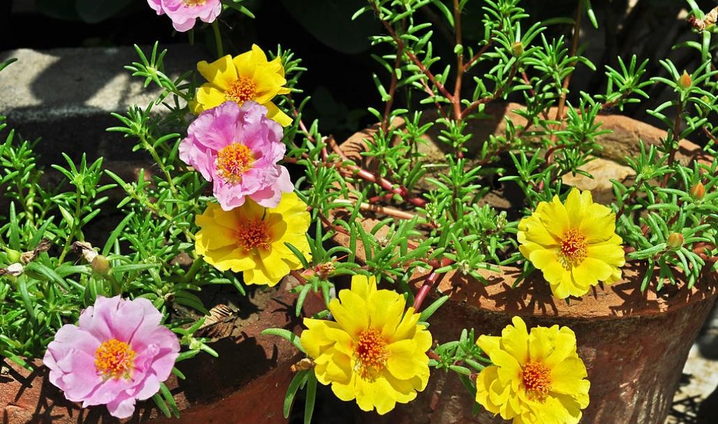 Portulaca: Low maintenance flowering plants – best suitable for hanging baskets