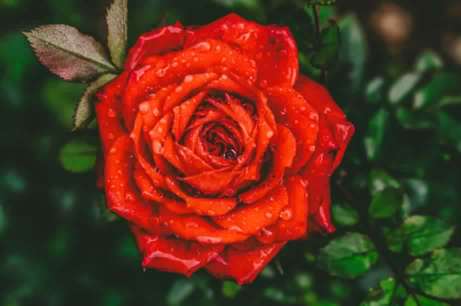 Rose: The symbol of Love and Friendship: Details and Care Tips