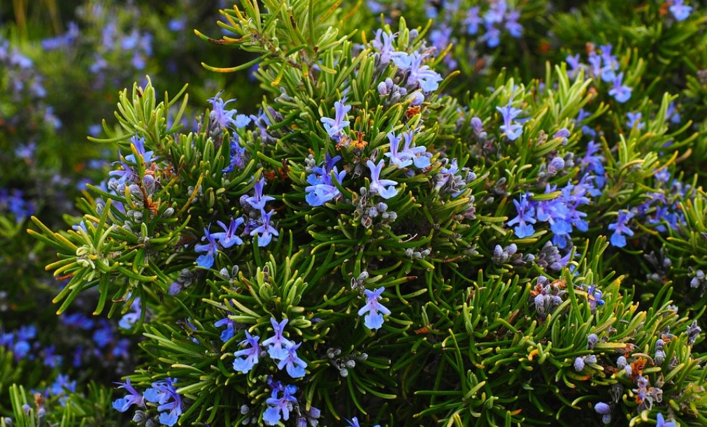Rosemary: Low maintenance herb, spice and ornamental plant