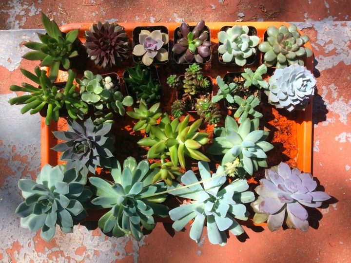 Succulent care for beginners