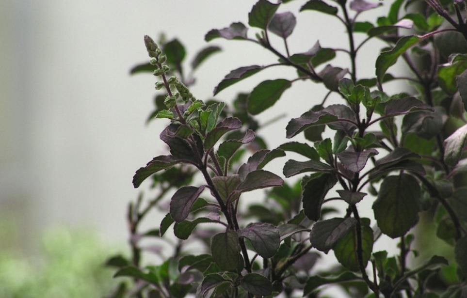 Tulsi plant / Holi Basil: Common Indian herb full of medicinal properties