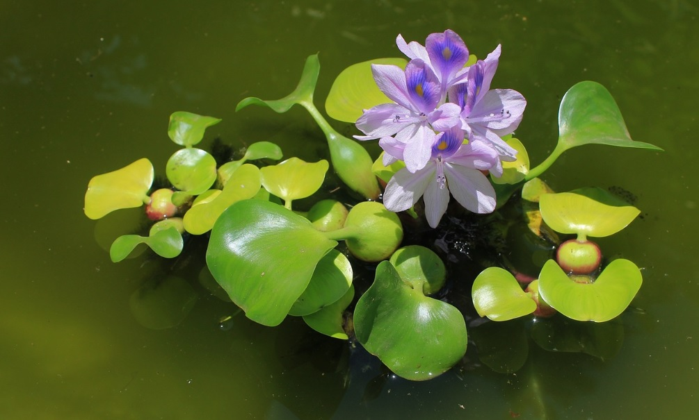 Water Hyacinth: Attractive aquatic flowering plant – Details and care tips