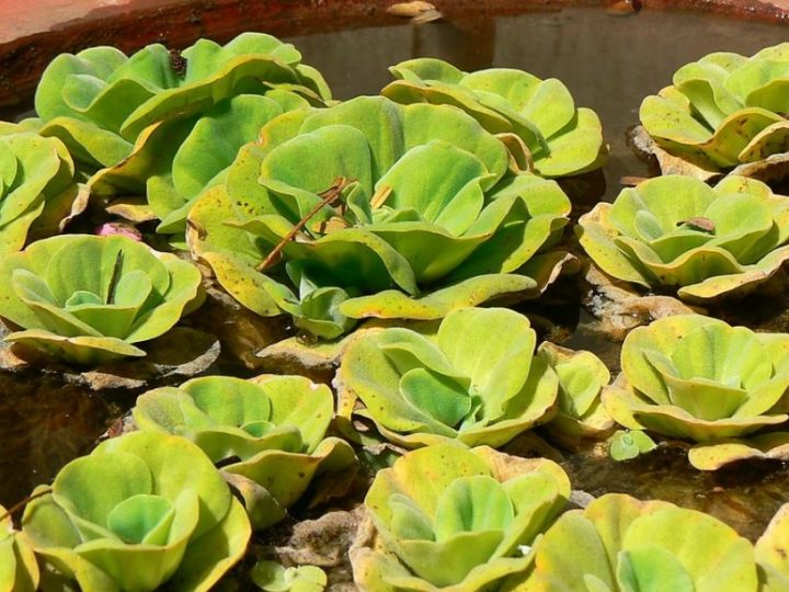 Water Lettuce: Perfect fast growing water plant suitable for your small water garden setup