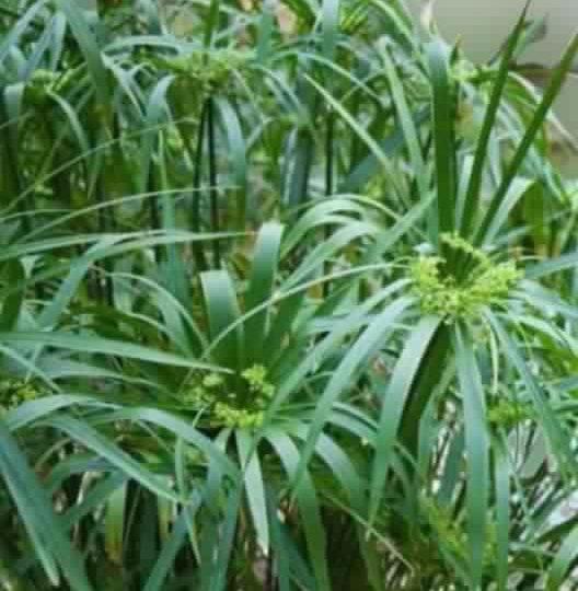 Water-Umbrella-Plant