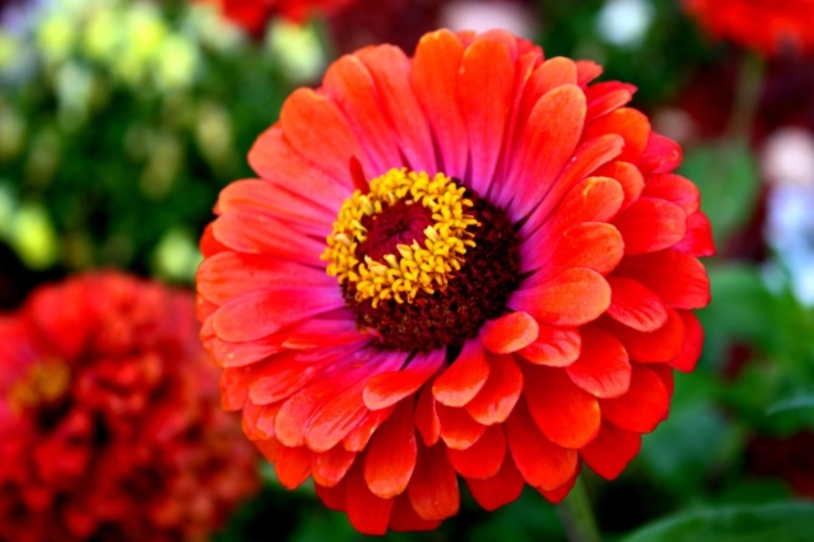 Zinnia: Easy to care flowering plant and good for companion gardening with vegetables