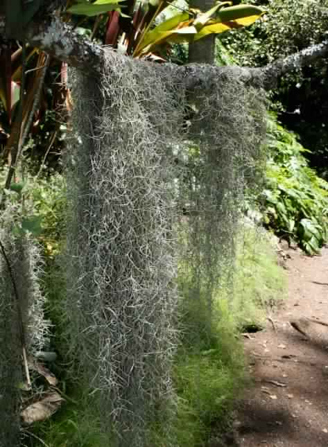 Spanish Moss: Perfect Air Plant – Details and Care Tips