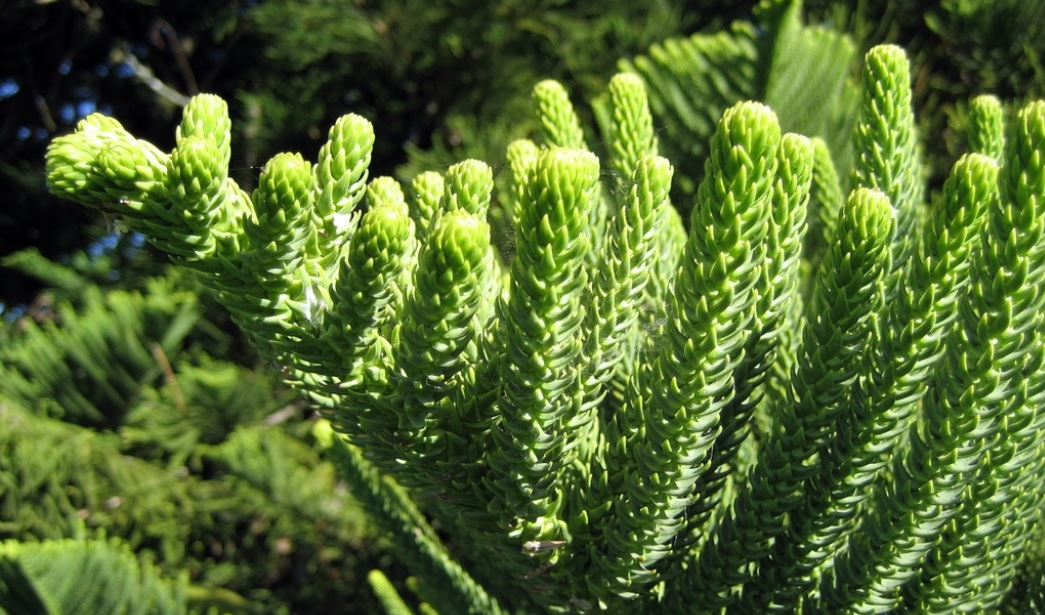 Best Care Tips for Christmas Tree or Araucaria