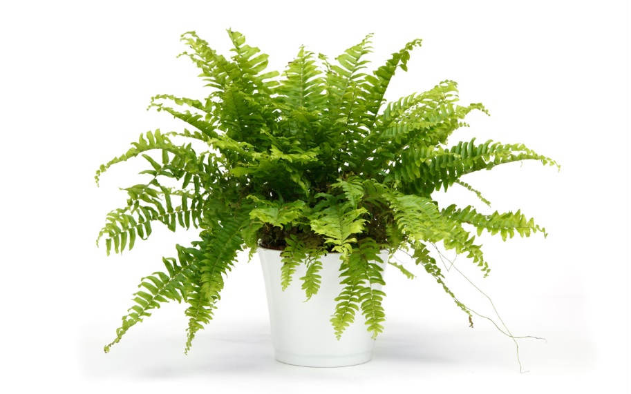 Boston Fern Care and Details: NASA Approved air purifying plant