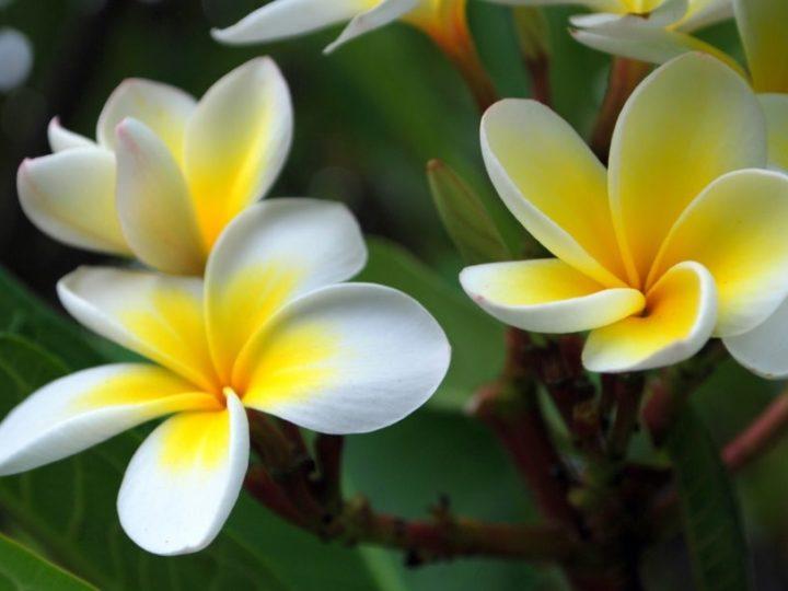 Champa Plant, Champa Plant Care, Champa Plant Details