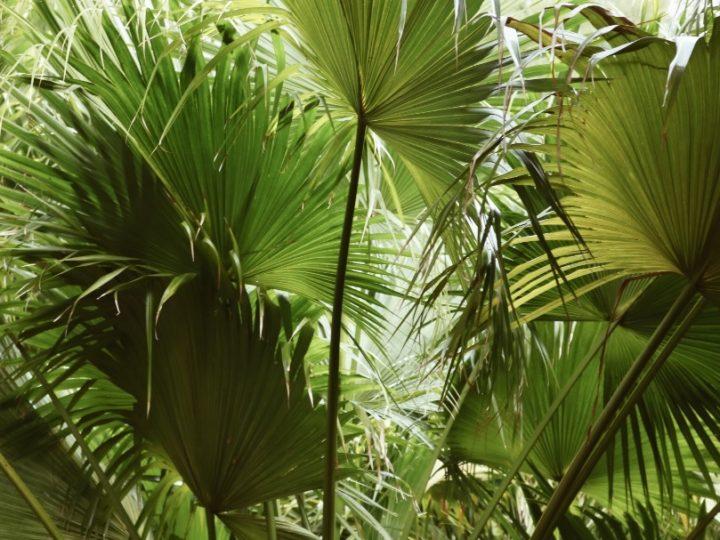 Fan Palm, Fan Palm Care, Fan Palm Details