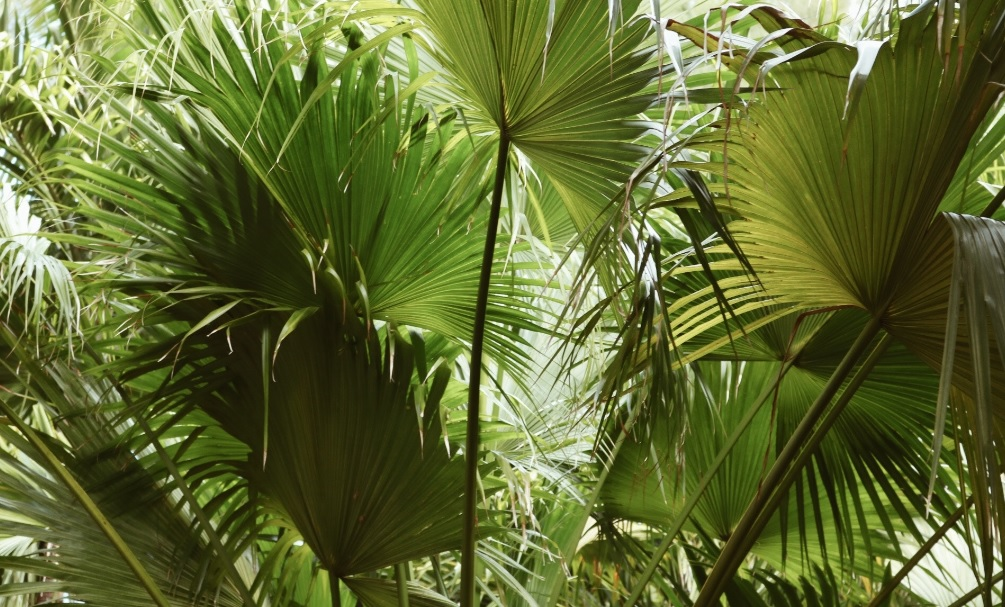 Fan palm care and details : Easy to grow plants with great medicinal and aesthetic value