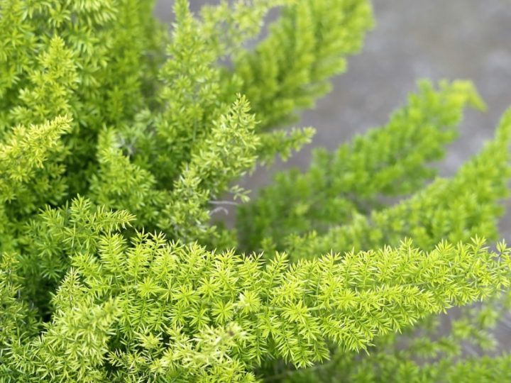 Foxtail fern, foxtail fern care, foxtail fern details
