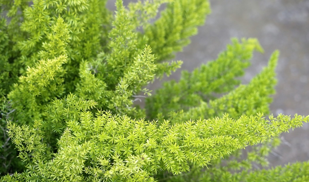 Foxtail Fern Care and Details: Beautiful Air Purifying Plant