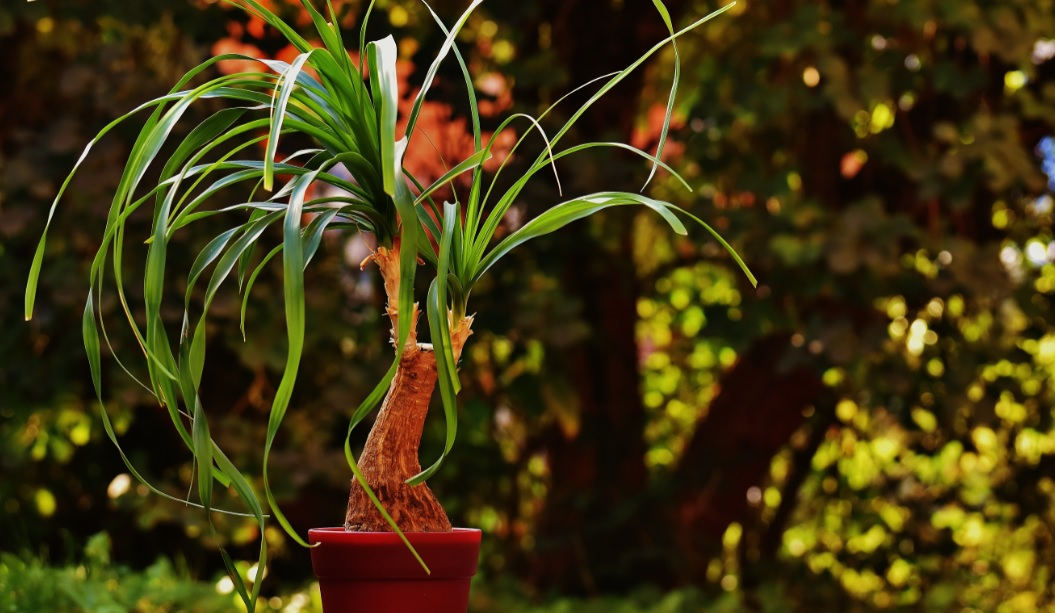 Pony Tail Palm care and details:Easy to grow unique plants
