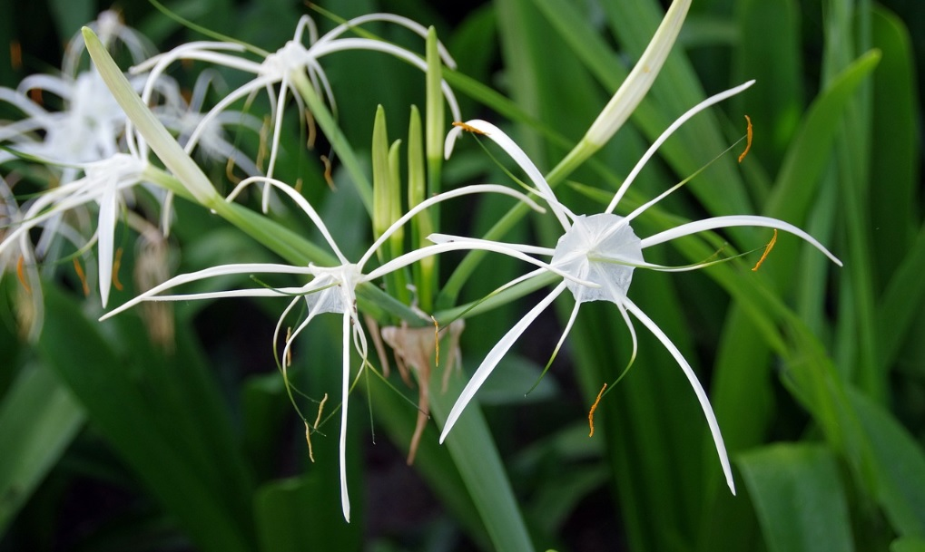 Spider Lily care and details:Blissful plants with medicinal value