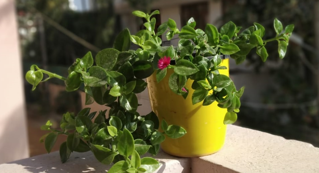 Aptenia care and details: Succulent with bright beautiful flowers
