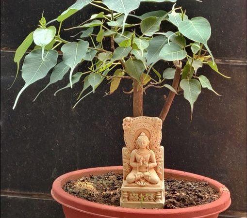 Bodhi Tree, Bodhi Tree Bonsai
