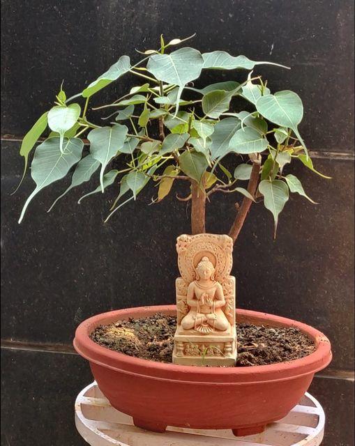Ficus Religiosa / Bodhi Tree Bonsai: Easy to care and grow