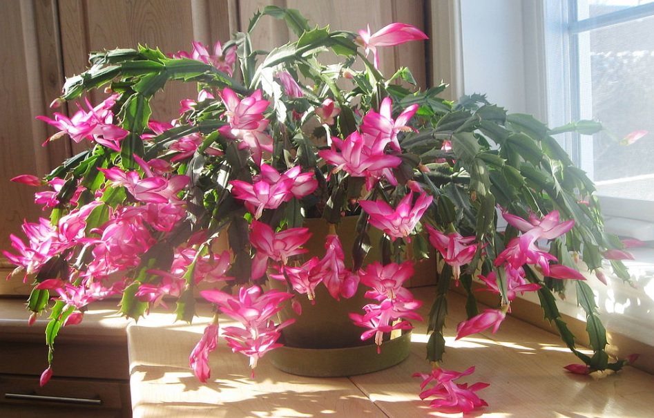 Christmas Cactus / Schlumbergera care and details: Unique looking beautiful cacti