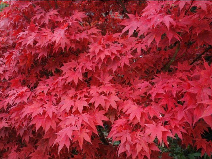 Japanese Maple Care