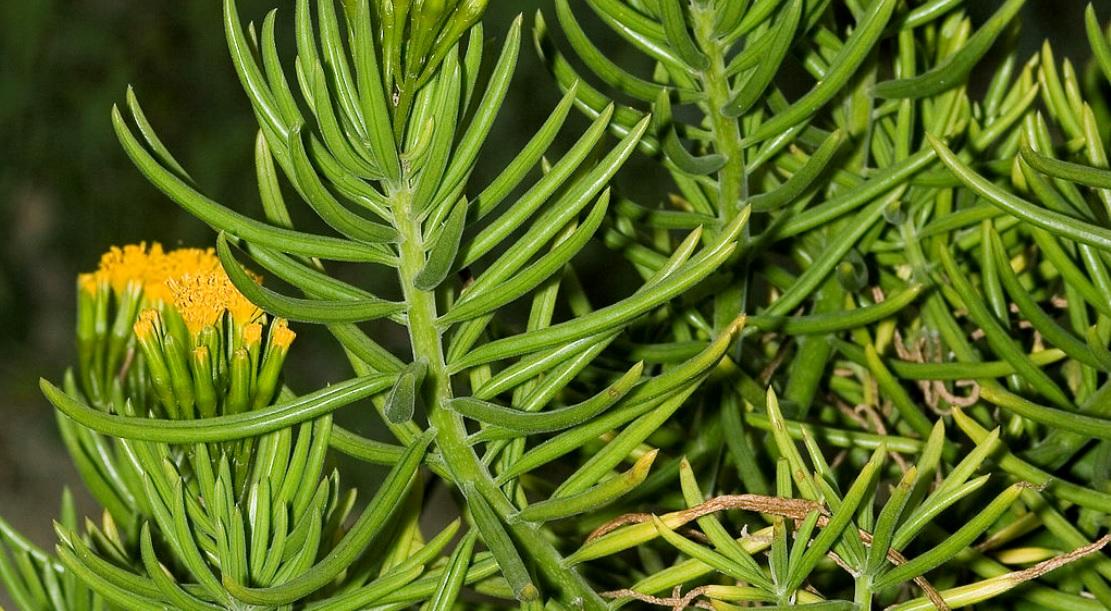 Succulent Bush Senecio: Unique beautiful succulent houseplants